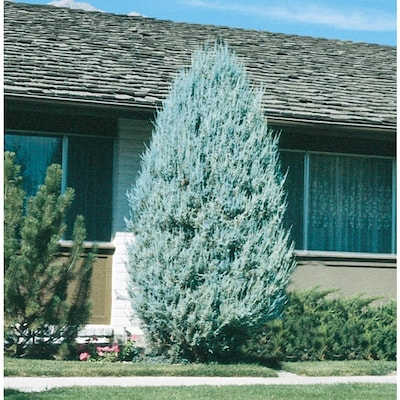 9 64-Gallon Moonglow Juniper Accent Shrub in Pot (L5506) at