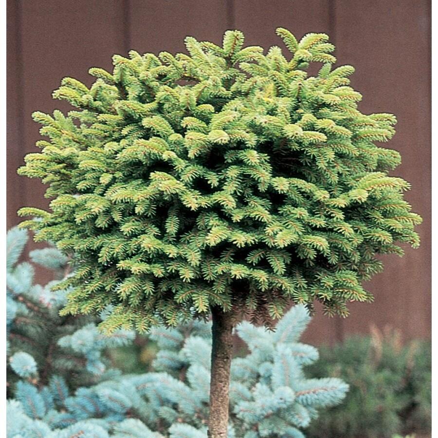 9.64-Gallon Little Gem Spruce Standard Feature Shrub (LW02465)