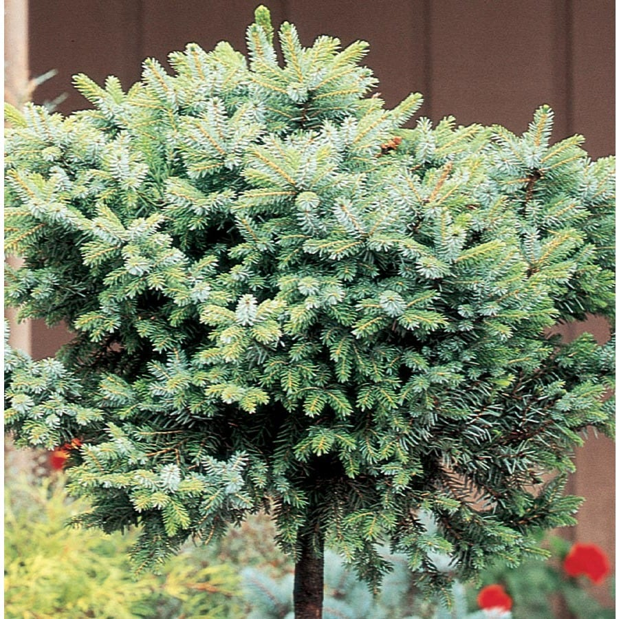 9.64-Gallon Dwarf Serbian Spruce Standard Feature Tree (L22017)