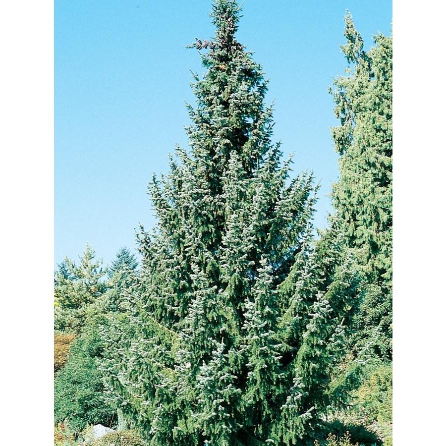 12.7-Gallon Serbian Spruce Feature Tree (L8655)