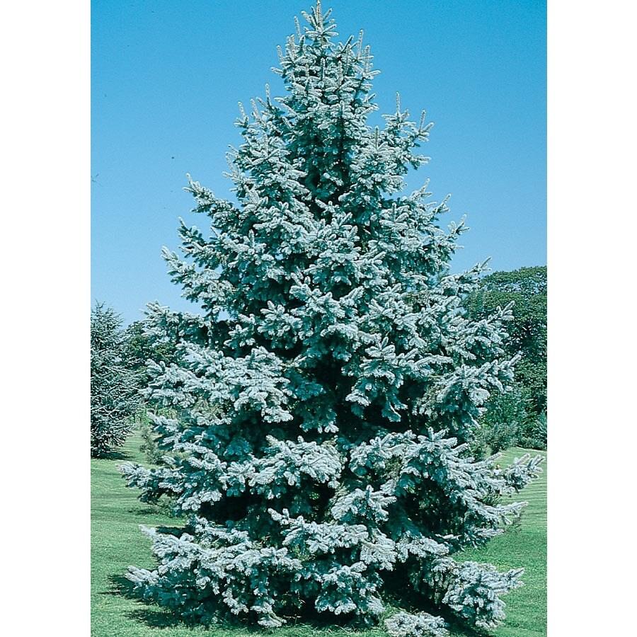 19.09-Gallon Colorado Blue Spruce Feature Tree (L3937)