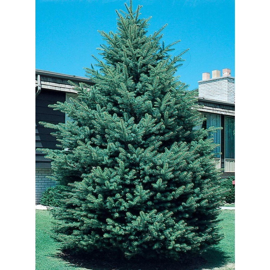 12.7-Gallon Black Hills Spruce Feature Tree (L4531)
