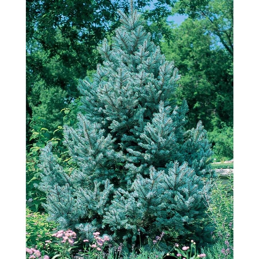 9.64-Gallon Fat Albert Spruce Feature Tree (L4805)