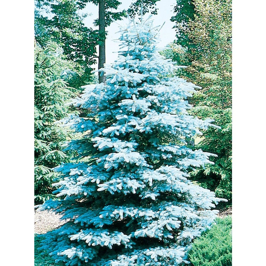 9.64-Gallon HooPSI Blue Spruce Feature Tree (L4101)