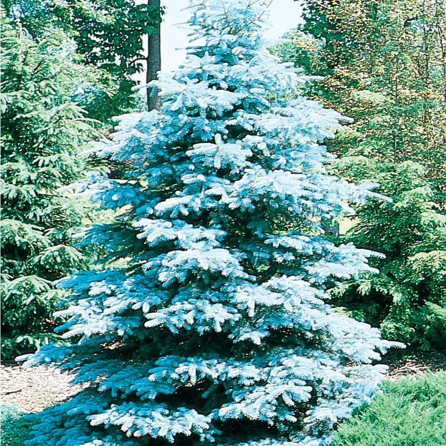 Shop 19 09 Gallon Hoopsi Blue Spruce Feature Tree L4101