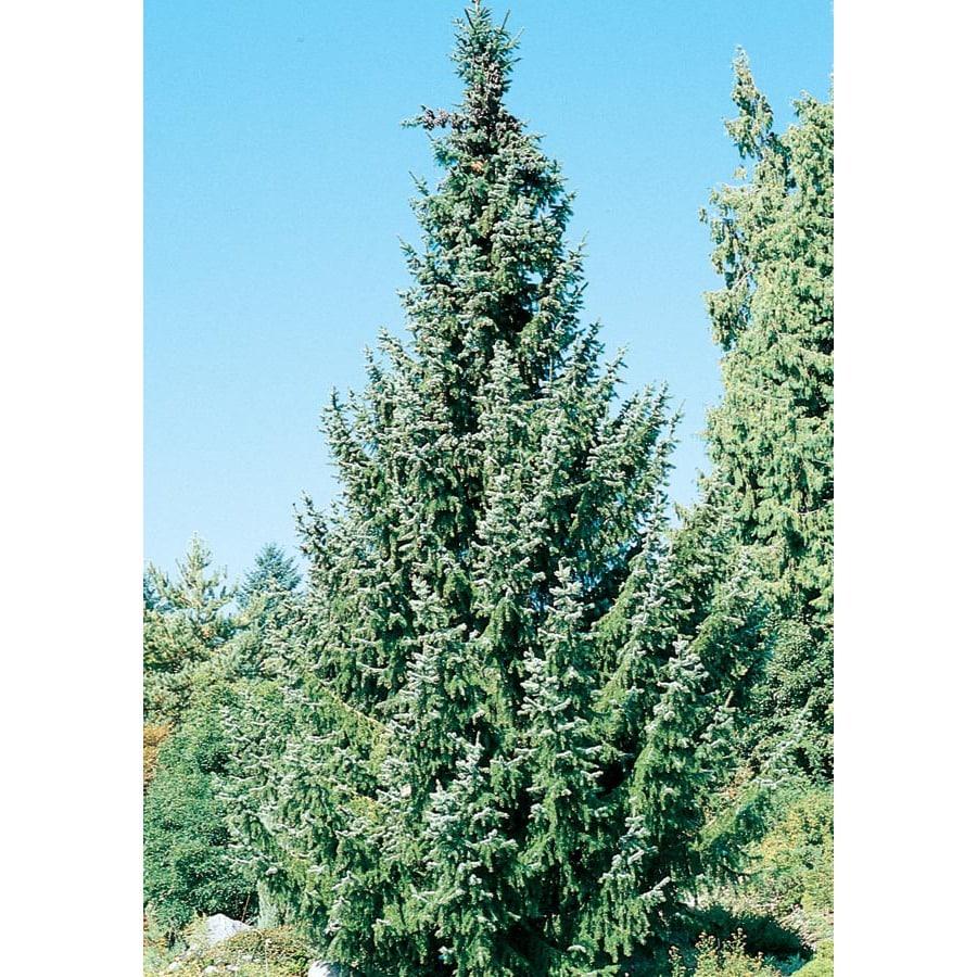9.64-Gallon Serbian Spruce Feature Tree (L8655)