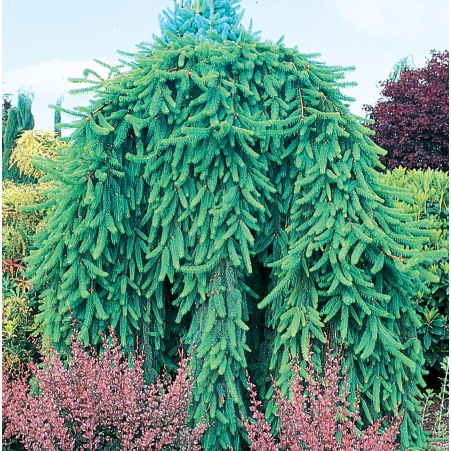 9.64-Gallon Weeping Norway Spruce Feature Shrub (L4097)