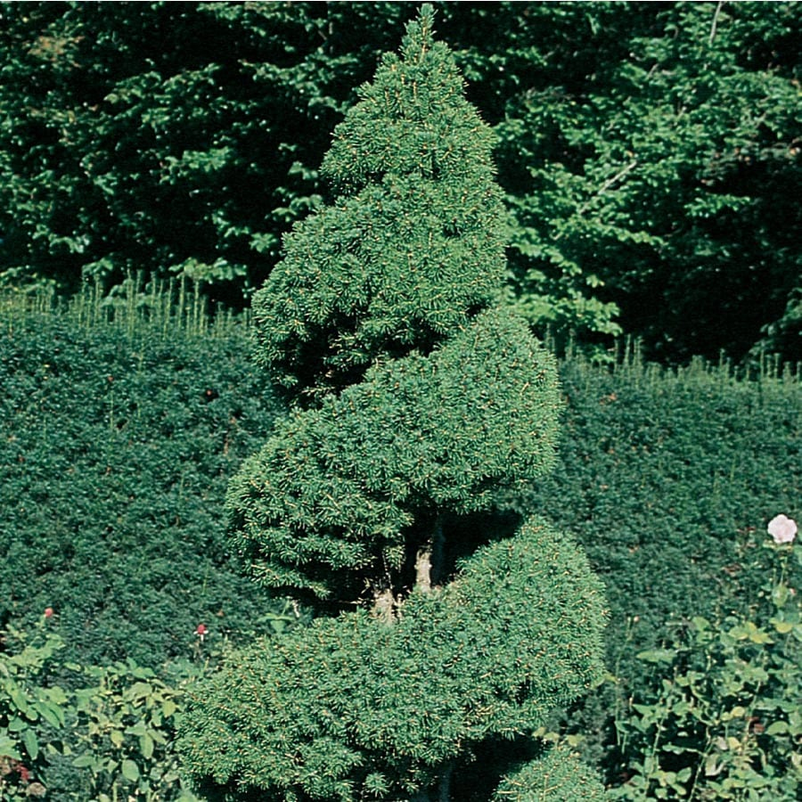 9.64-Gallon Spiral Dwarf Alberta Spruce Feature Tree (L7230)