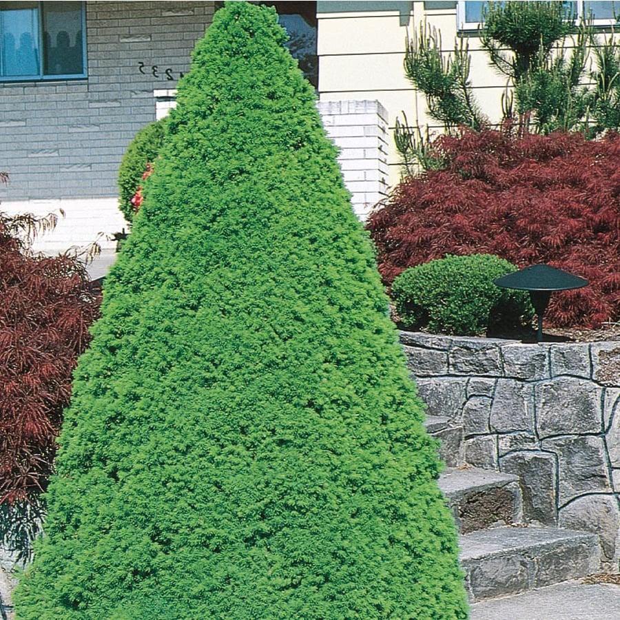 9.64-Gallon Dwarf Alberta Spruce Feature Shrub (L8449)