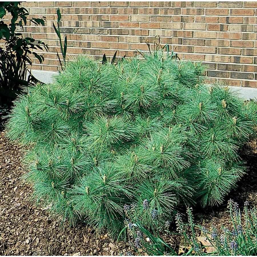 9.64-Gallon Dwarf Eastern White Pine Feature Shrub (L5203)