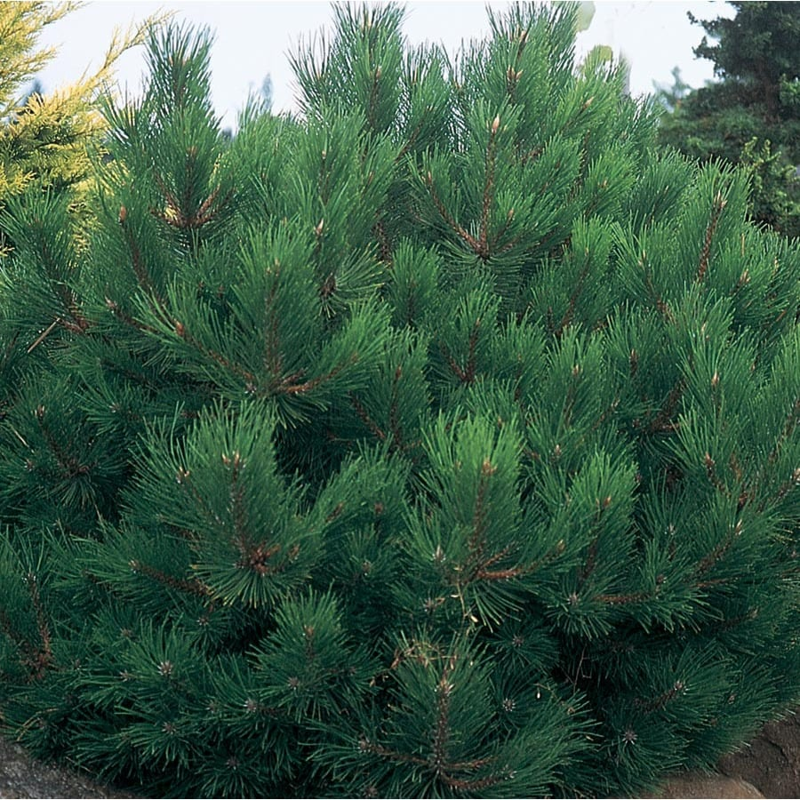 9.64-Gallon Oregon Green Austrian Pine Feature Tree (L24030)