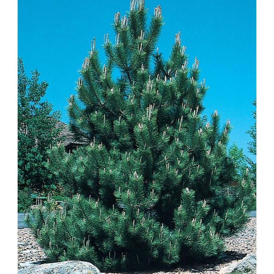 9.64-Gallon Austrian Black Pine Feature Tree (L3618)