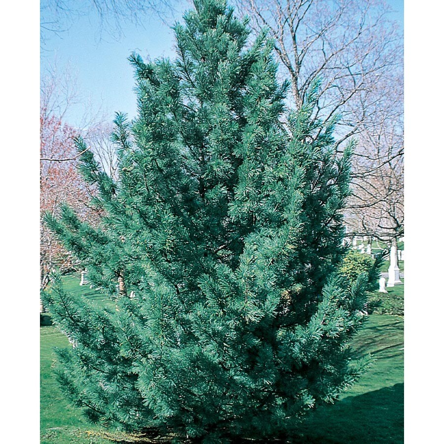 19.09-Gallon Vanderwulf's Pyramid Limber Pine Feature Tree (L6874)