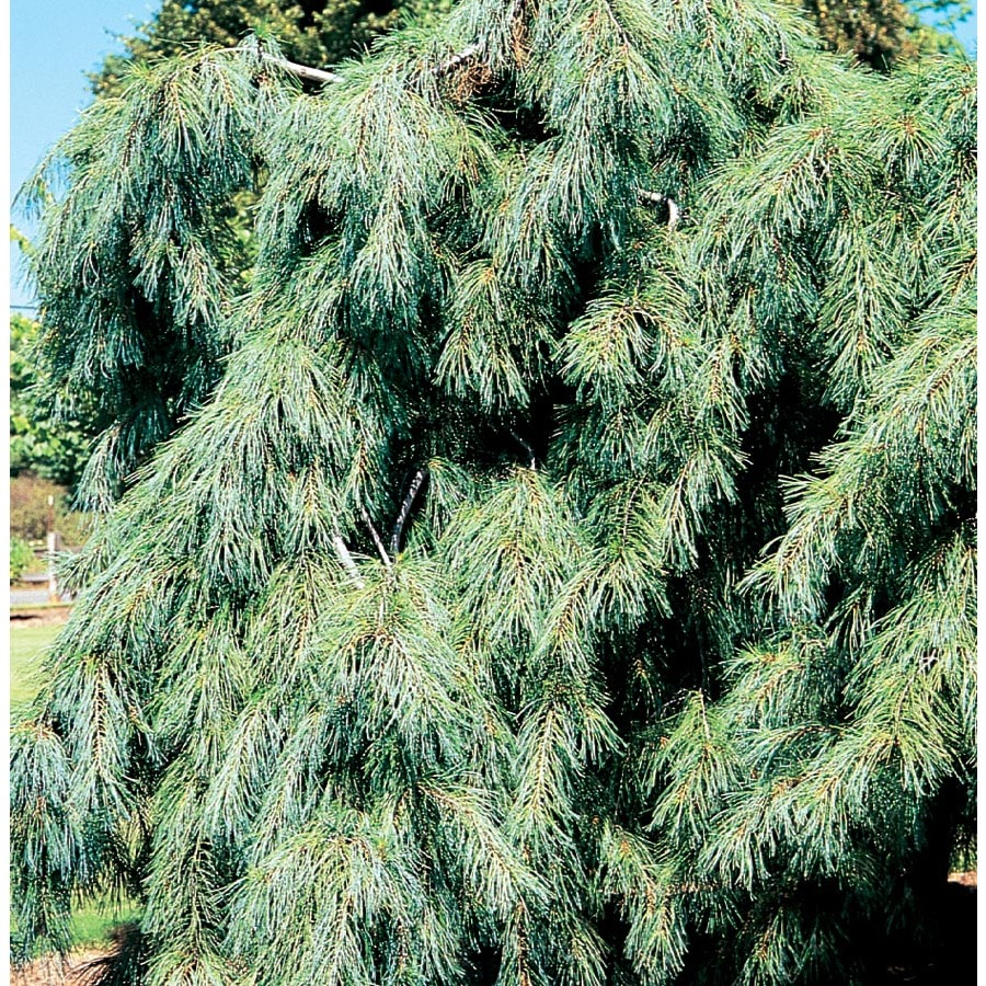 12 7 Gallon Weeping White Pine Feature Shrub In Pot