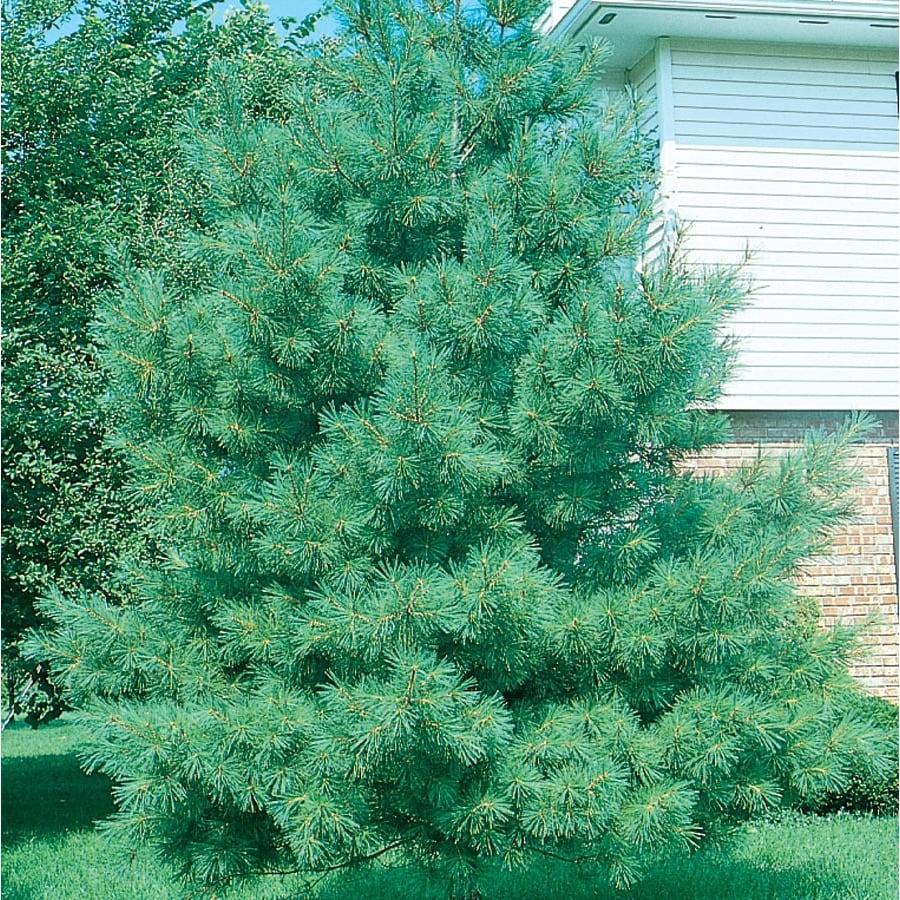 12.7-Gallon Eastern White Pine Screening Tree (L3619)