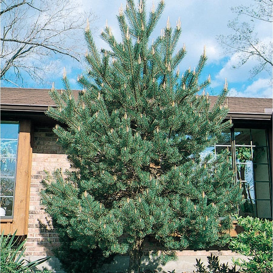12.7-Gallon Scotch Pine Shade Tree (L3939)