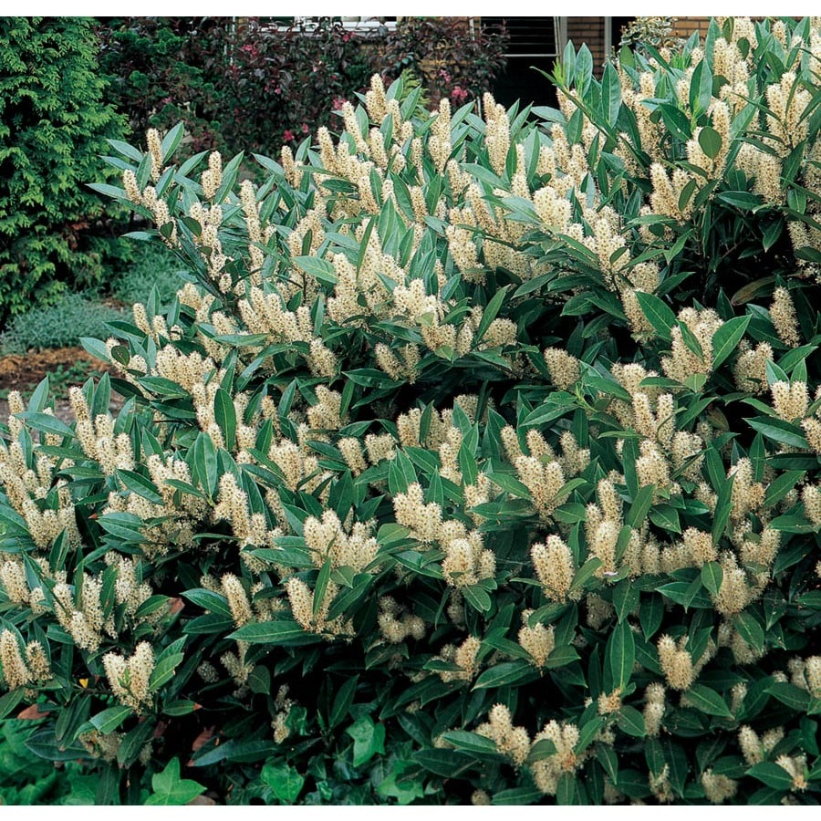 Shop 5 gallon white english laurel foundation hedge shrub for Plant in an english hedge crossword clue