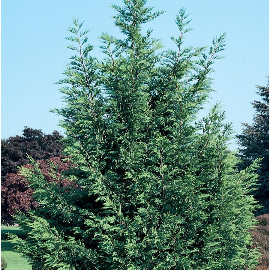 12 7 Gallon Leyland Cypress Screening Tree In Pot With