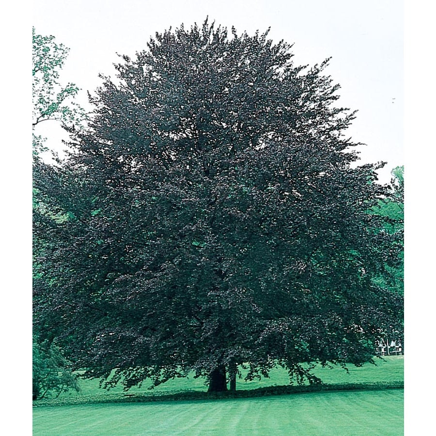 19.09-Gallon Rivers Purple Beech Feature Tree (L6872)