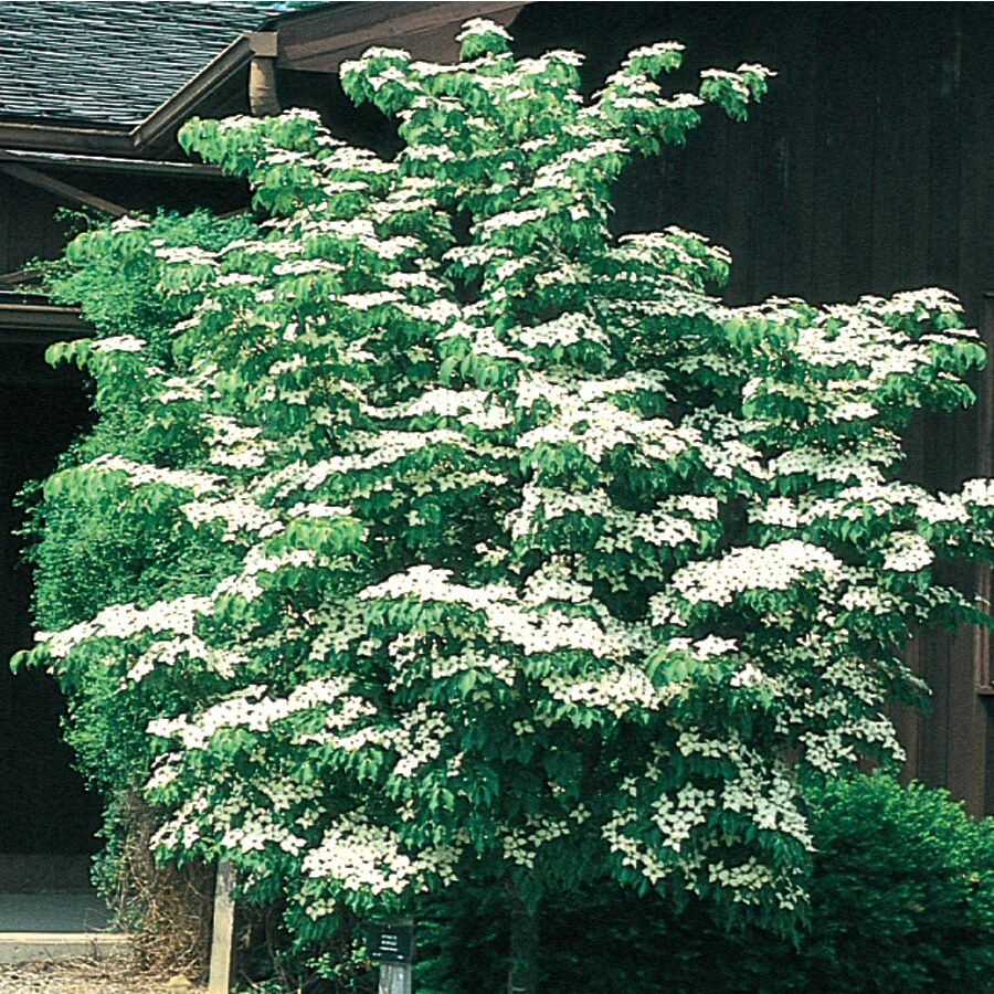 12.7-Gallon Kousa Dogwood Flowering Tree (L1140)