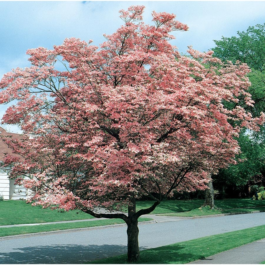 599 Gallon Pink Flowering Dogwood Flowering Tree In Pot With Soil