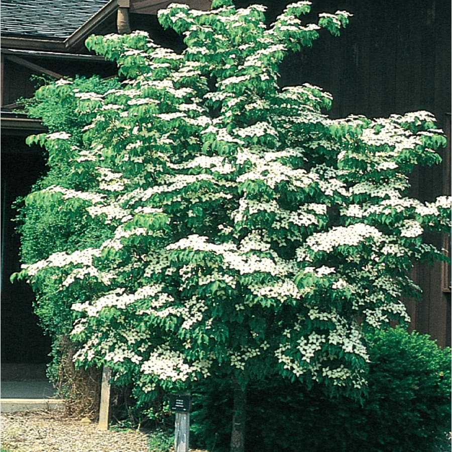 5-Gallon Kousa Dogwood Flowering Tree (L1140)