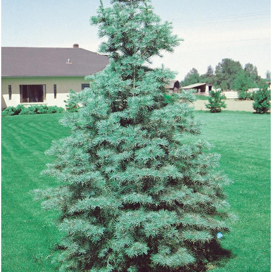9.64-Gallon White Fir Feature Tree (L4161)
