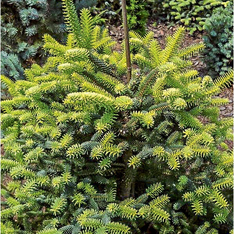 9.64-Gallon Golden Spanish Fir Feature Tree (L27289)