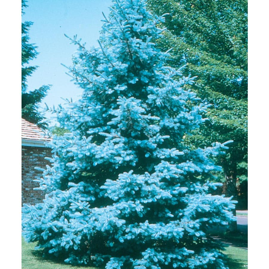 19.09-Gallon Bacheri Blue Spruce Feature Tree (LW02136)