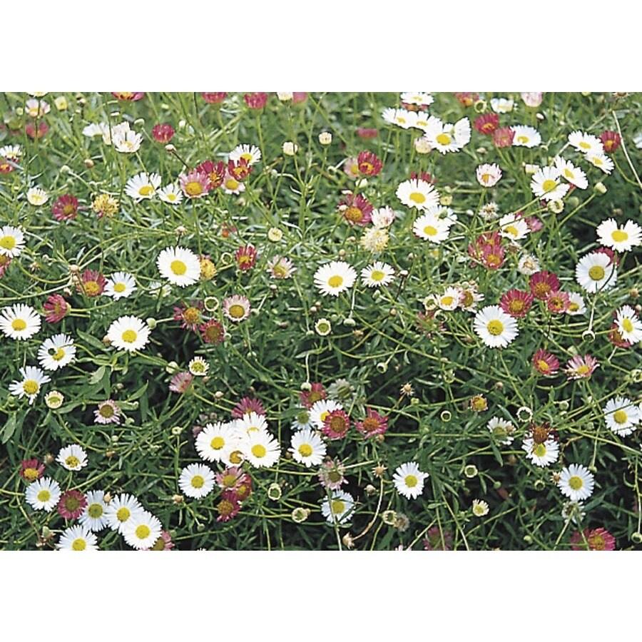1-Flat Daisy Fleabane (Lw03920)