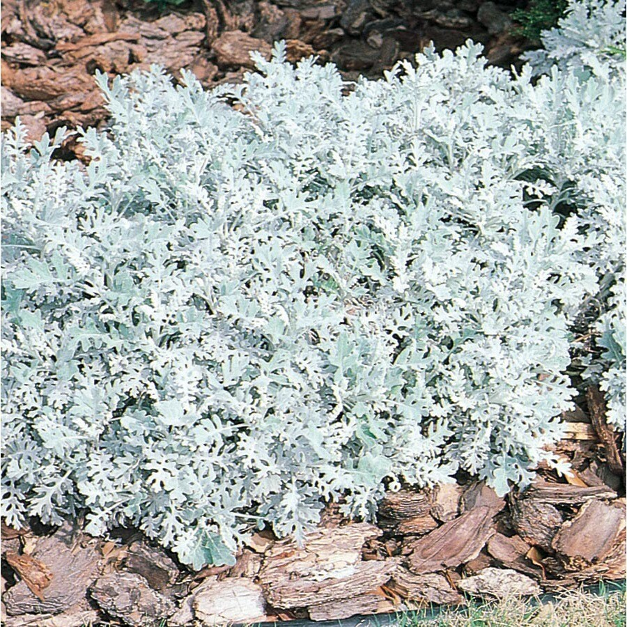 1-Flat Temporary Dusty Miller (L3111)