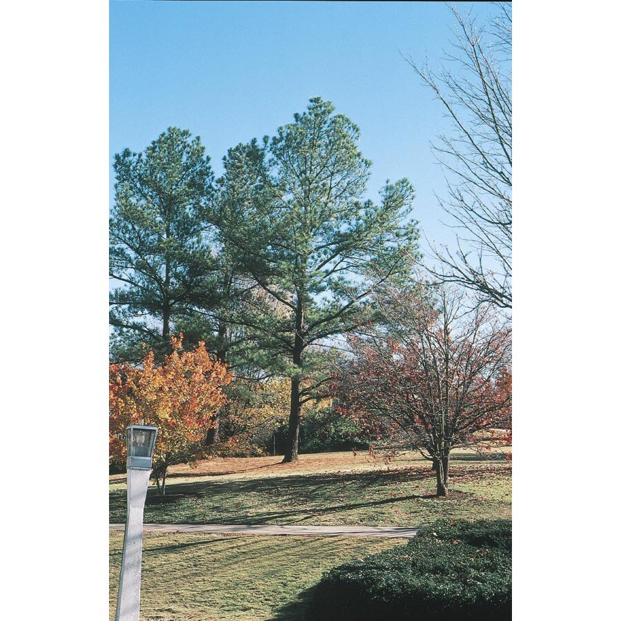 10.25-Gallon Loblolly Pine Feature Tree (L5852)