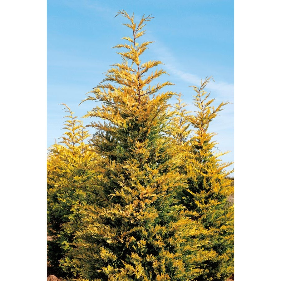 27.5-Gallon Gold Rider Leyland Cypress Screening Tree (L23855)