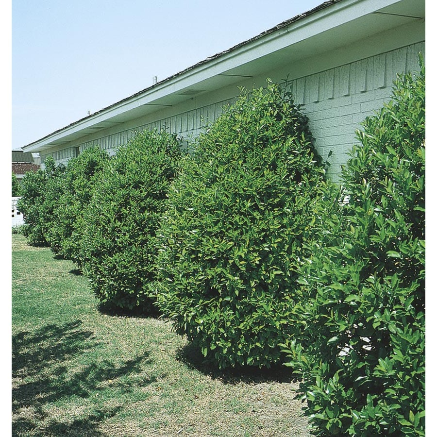 White Carolina Cherry Laurel Screening Shrub (L11188)
