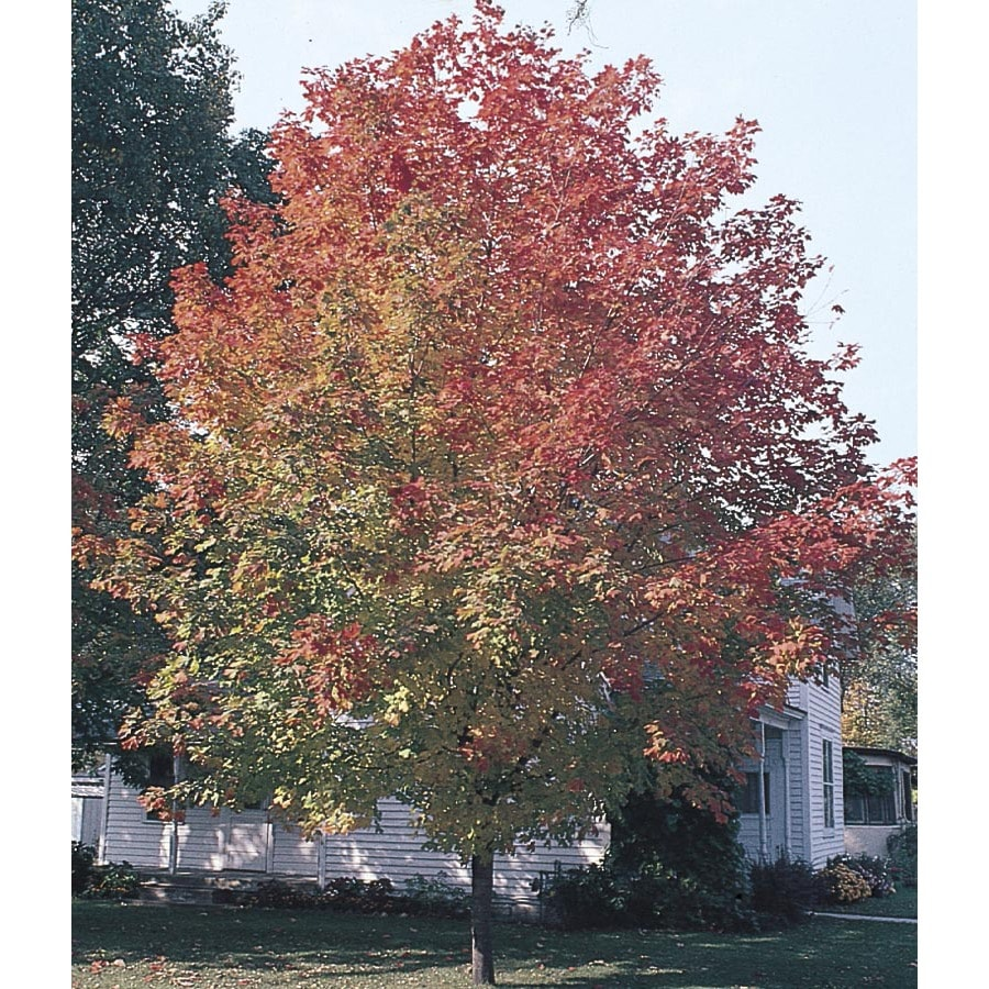 7-Gallon Fall Fiesta Sugar Maple Shade Tree (LW02874)