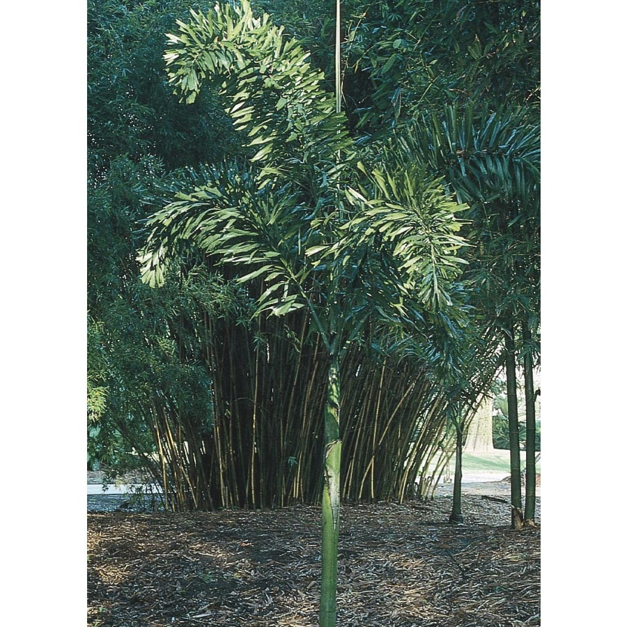 5-Gallon Foxtail Palm (L14531)