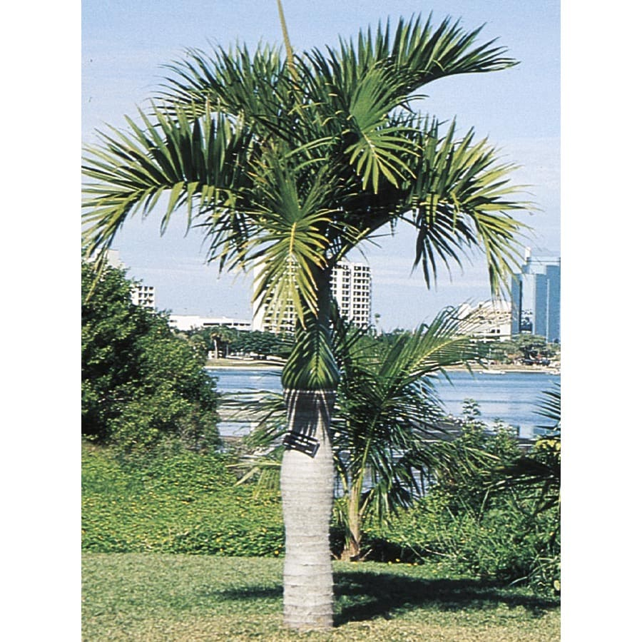 24-Gallon Spindle Palm (L11094)