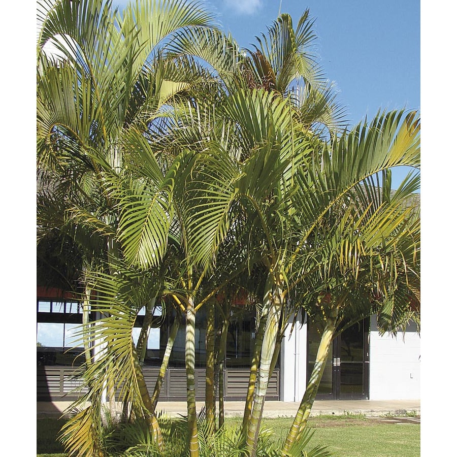 2.5-Quart Areca Palm (LTL0010)
