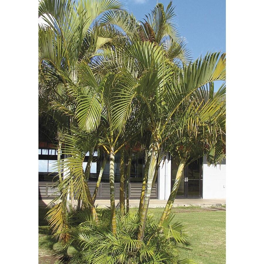 2.49-Gallon Areca Palm (LTL0010)