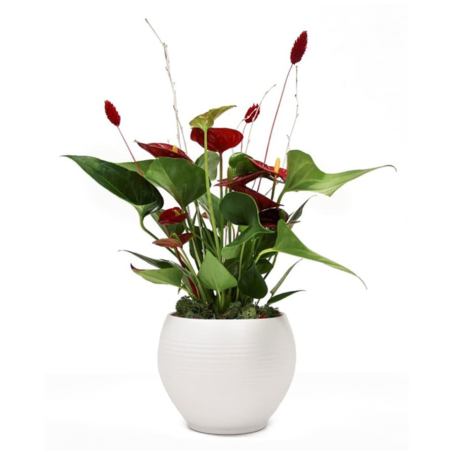 1.4-Quart Anthurium in Planter (L20914Hp)