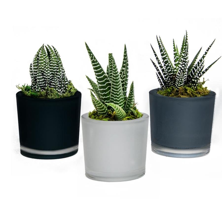 LiveTrends 3-Pack Succulent (mixed) Planter (L22966)