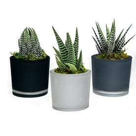 livetrends 3 pack succulent mixed planter l22966 - House Plants