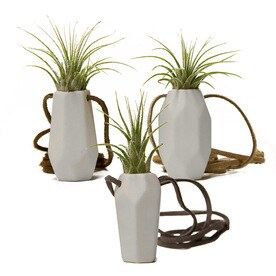 Livetrends 3 Pack Air Plant Mixed In Ceramic Planter L21596