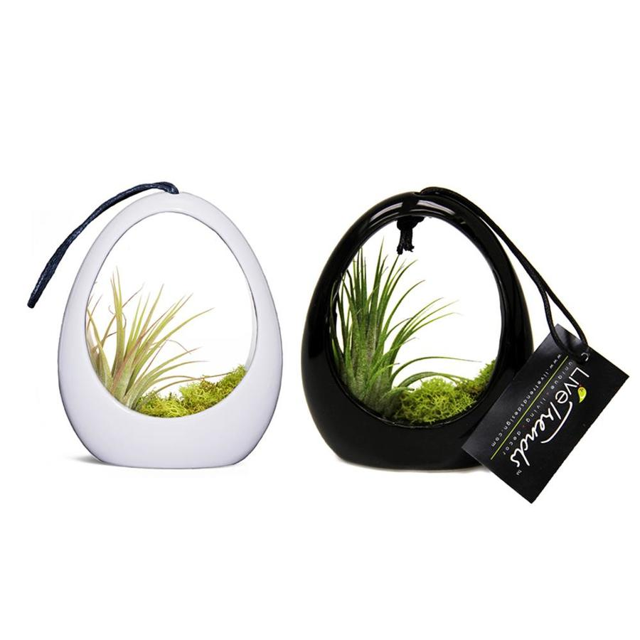 LiveTrends 2-Count Air Plant (Mixed) Planter (L21596)