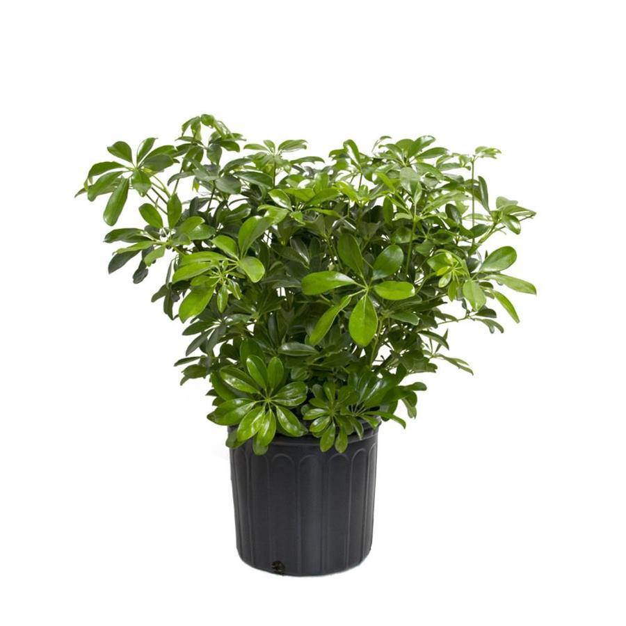 cheap office plants. LiveTrends Dwarf Umbrella Tree Potted (L296HP) Cheap Office Plants E