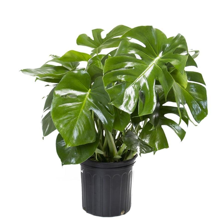 Shop plants bulbs seeds at lowes livetrends 30 in split leaf philodendron in plastic pot ltl0049 mightylinksfo