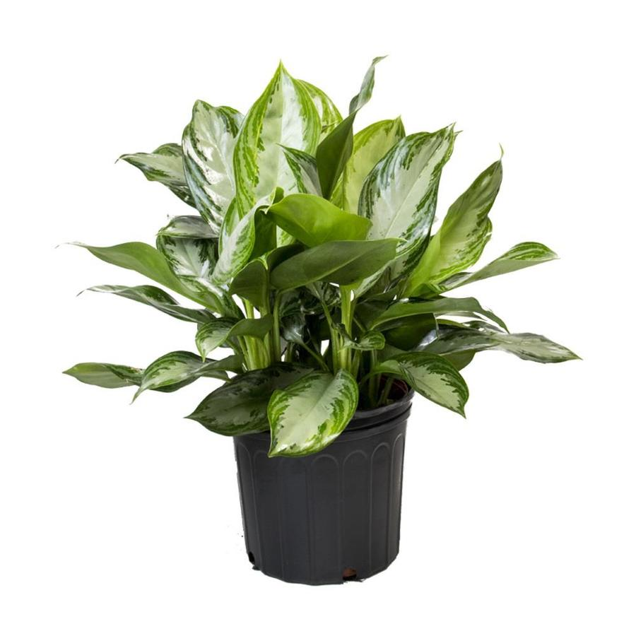 LiveTrends Chinese Evergreen Pot (L20910Hp)