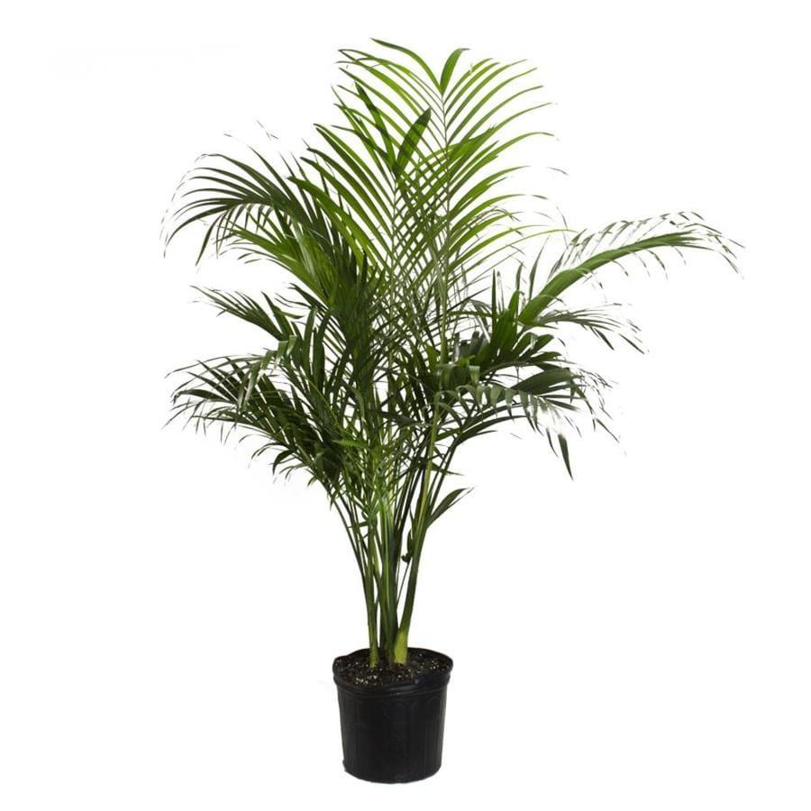 LiveTrends Cat Palm Pot (Ltl0008)