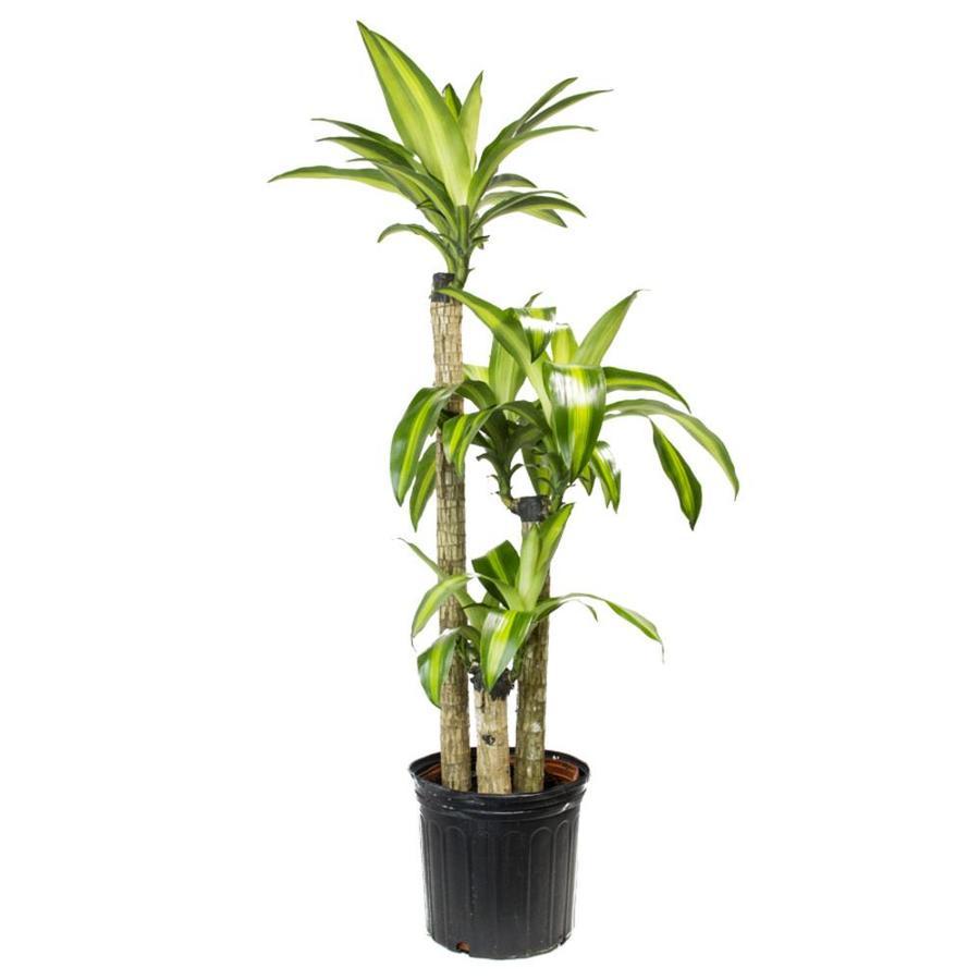 livetrends corn plant pot l20959hp