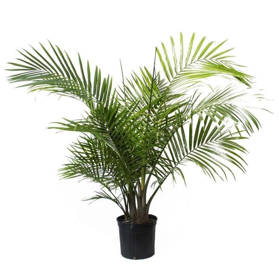 LiveTrends Majesty Palm Pot (L20955Hp)